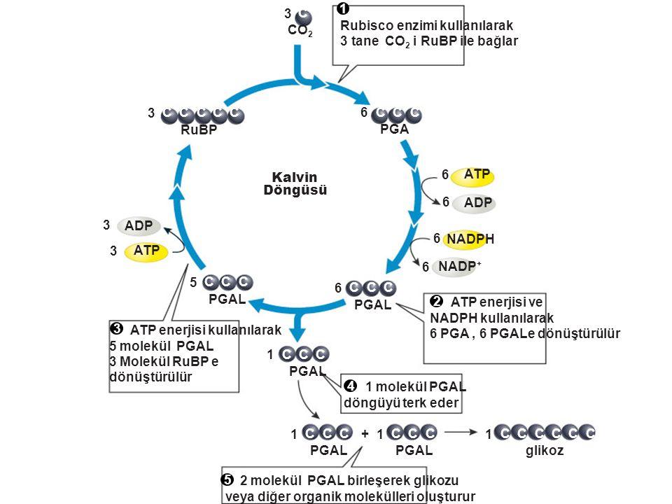 C 3 CO 2 CCC 6 PGA NADP + ATP ADP NADPH 6 6 6 6 CCC 1 PGAL CCC 5 ATP ADP 3 3 CCC 3 RuBP CCC 1 PGAL + CCC 1 CCC 1 glikoz CCC CCC 6 PGAL Kalvin Döngüsü
