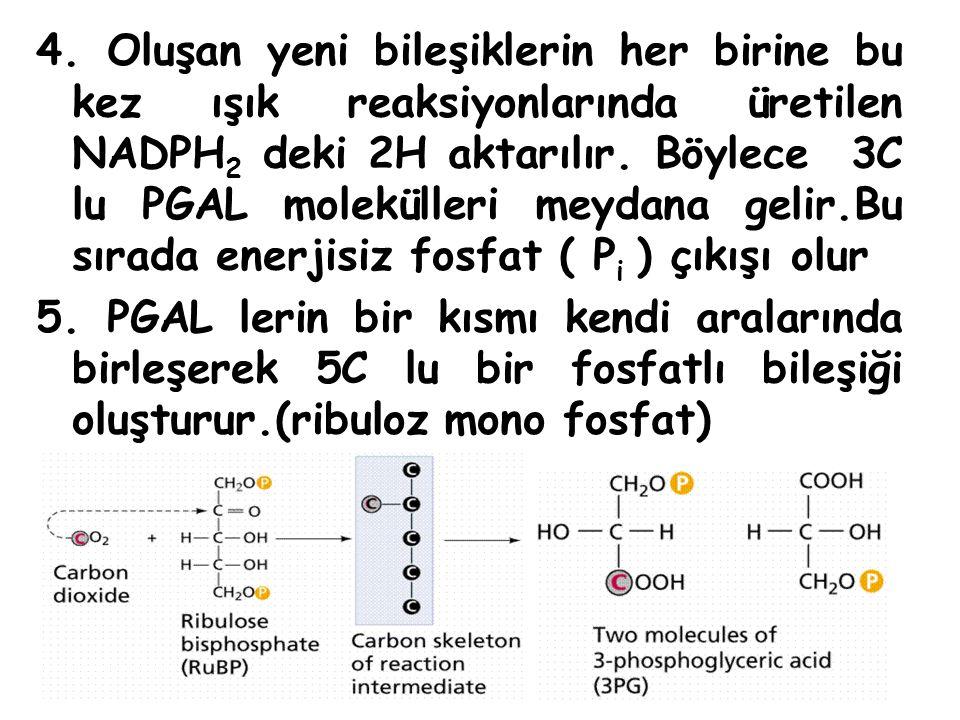 4. Oluşan yeni bileşiklerin her birine bu kez ışık reaksiyonlarında üretilen NADPH 2 deki 2H aktarılır. Böylece 3C lu PGAL molekülleri meydana gelir.B