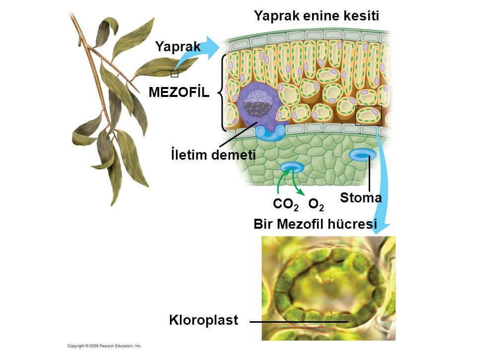 CO 2 O2O2 Stoma Bir Mezofil hücresi İletim demeti Kloroplast MEZOFİL Yaprak enine kesiti Yaprak