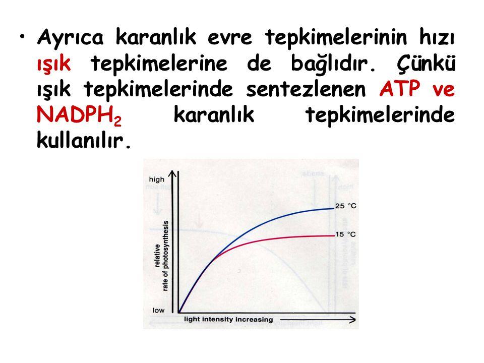 Ayrıca karanlık evre tepkimelerinin hızı ışık tepkimelerine de bağlıdır. Çünkü ışık tepkimelerinde sentezlenen ATP ve NADPH 2 karanlık tepkimelerinde