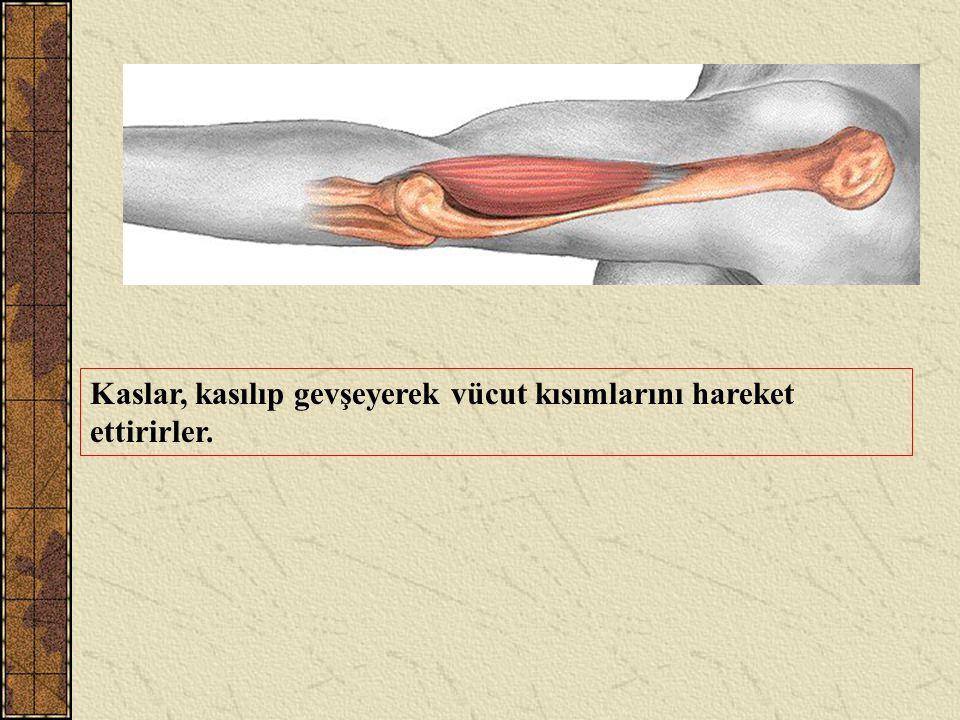 Kaslar, kasılıp gevşeyerek vücut kısımlarını hareket ettirirler.