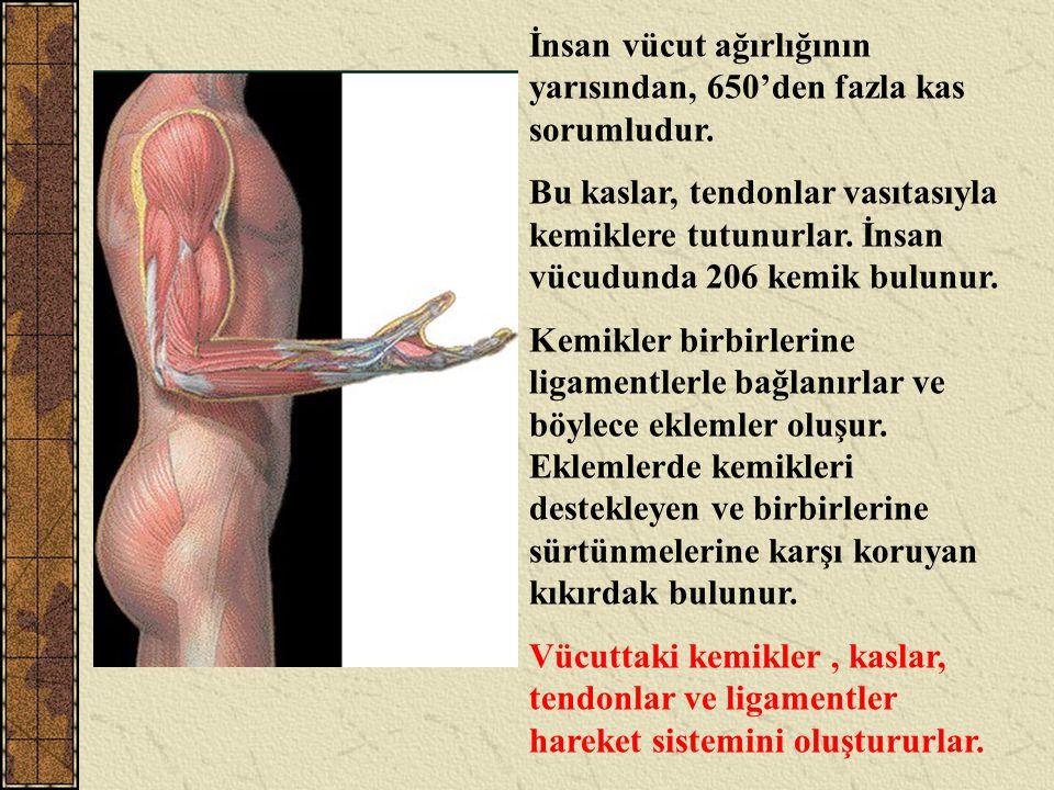 İnsan vücut ağırlığının yarısından, 650'den fazla kas sorumludur. Bu kaslar, tendonlar vasıtasıyla kemiklere tutunurlar. İnsan vücudunda 206 kemik bul
