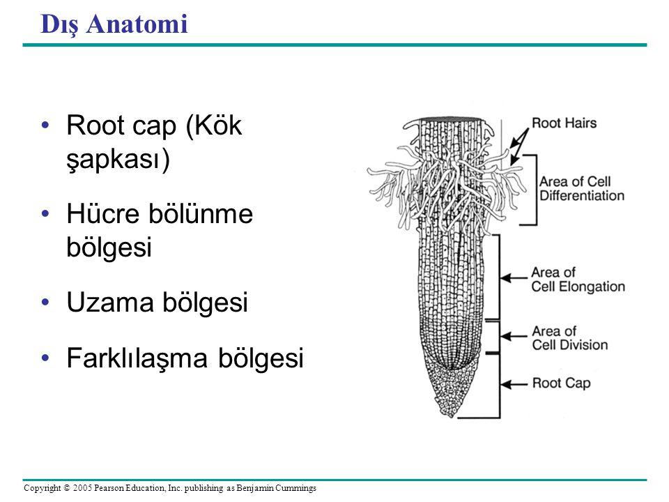 Copyright © 2005 Pearson Education, Inc. publishing as Benjamin Cummings Dış Anatomi Root cap (Kök şapkası) Hücre bölünme bölgesi Uzama bölgesi Farklı