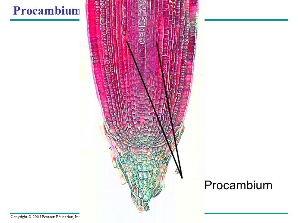 Copyright © 2005 Pearson Education, Inc. publishing as Benjamin Cummings Procambium