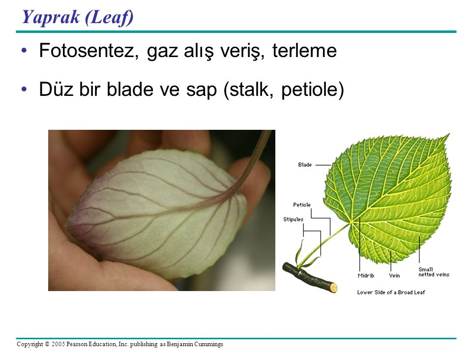Copyright © 2005 Pearson Education, Inc. publishing as Benjamin Cummings Yaprak (Leaf) Fotosentez, gaz alış veriş, terleme Düz bir blade ve sap (stalk