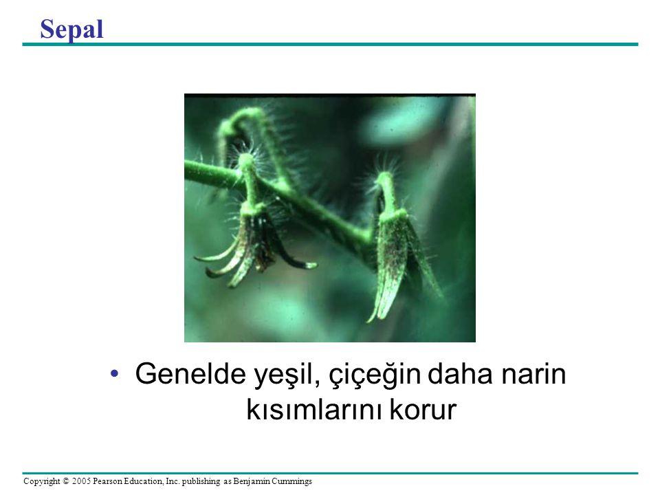 Copyright © 2005 Pearson Education, Inc. publishing as Benjamin Cummings Sepal Genelde yeşil, çiçeğin daha narin kısımlarını korur