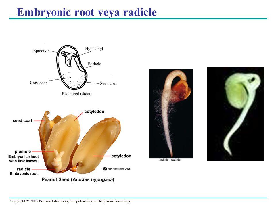 Copyright © 2005 Pearson Education, Inc. publishing as Benjamin Cummings Embryonic root veya radicle