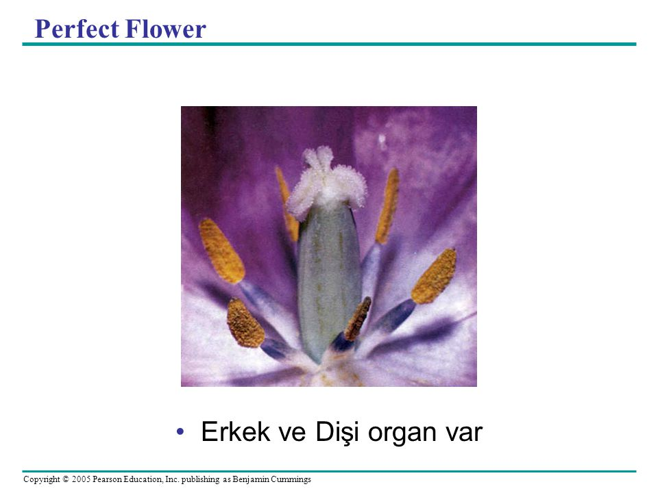 Copyright © 2005 Pearson Education, Inc. publishing as Benjamin Cummings Perfect Flower Erkek ve Dişi organ var