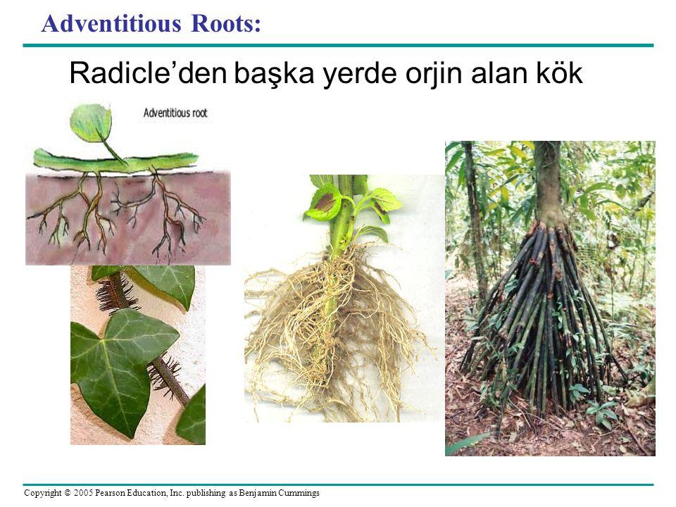 Adventitious Roots: Radicle'den başka yerde orjin alan kök