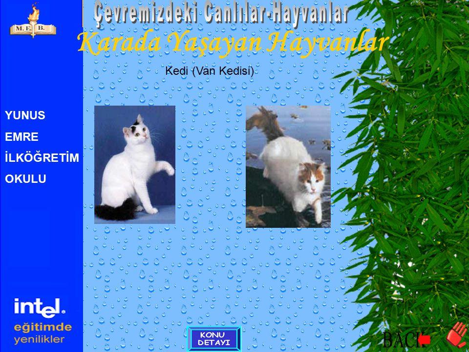 YUNUS EMRE İLKÖĞRETİM OKULU Karada Yaşayan Hayvanlar Kedi (Van Kedisi) Video görüntüsü için tıklayıntıklayın