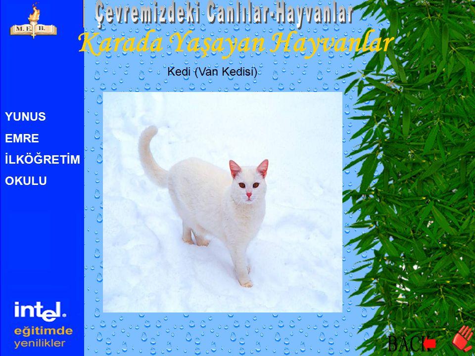YUNUS EMRE İLKÖĞRETİM OKULU Karada Yaşayan Hayvanlar Kedi (Van Kedisi)