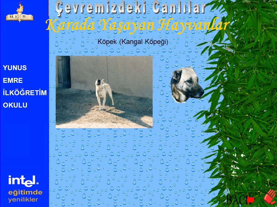 YUNUS EMRE İLKÖĞRETİM OKULU Karada Yaşayan Hayvanlar Köpek (Kangal Köpeği) Video görüntüsü için tıklayıntıklayın