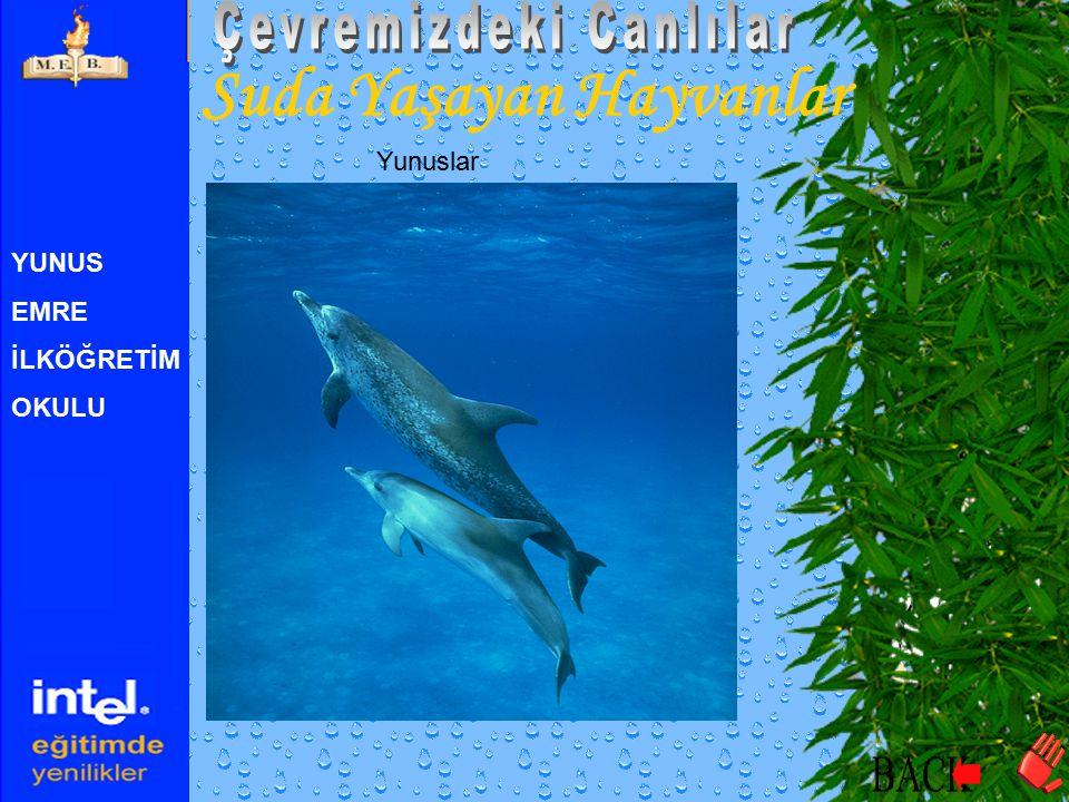 YUNUS EMRE İLKÖĞRETİM OKULU Suda Yaşayan Hayvanlar Yunuslar
