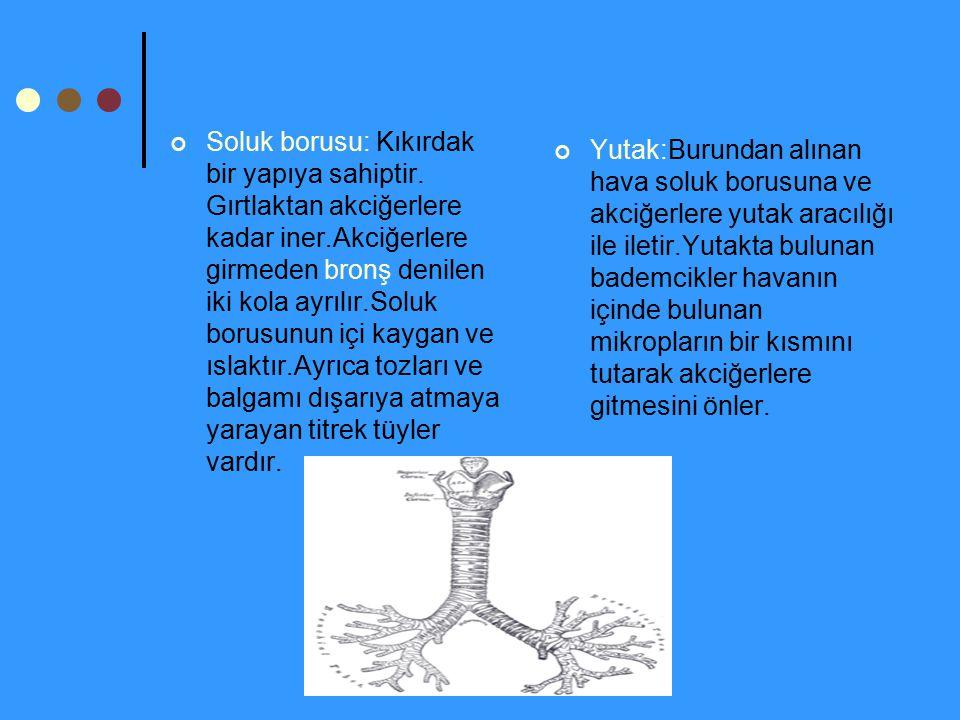 Soluk borusu: Kıkırdak bir yapıya sahiptir. Gırtlaktan akciğerlere kadar iner.Akciğerlere girmeden bronş denilen iki kola ayrılır.Soluk borusunun içi