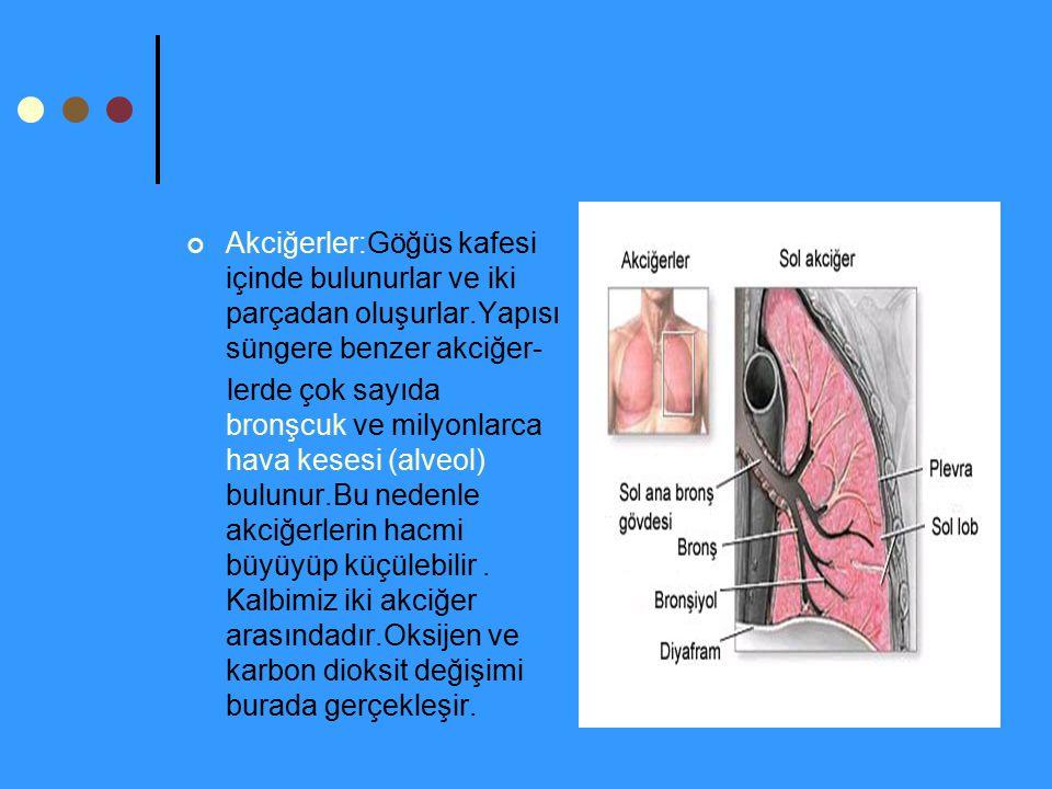 Akciğerler:Göğüs kafesi içinde bulunurlar ve iki parçadan oluşurlar.Yapısı süngere benzer akciğer- lerde çok sayıda bronşcuk ve milyonlarca hava keses