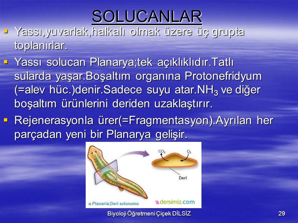 Biyoloji Öğretmeni Çiçek DİLSİZ29SOLUCANLAR  Yassı,yuvarlak,halkalı olmak üzere üç grupta toplanırlar.  Yassı solucan Planarya;tek açıklıklıdır.Tatl