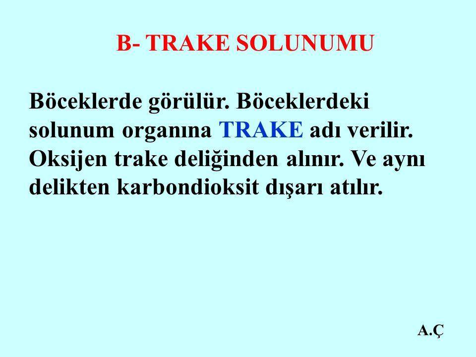 A.Ç B- TRAKE SOLUNUMU Böceklerde görülür.Böceklerdeki solunum organına TRAKE adı verilir.