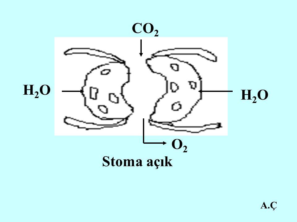 A.Ç CO 2 H2OH2O O2O2 H2OH2O Stoma açık