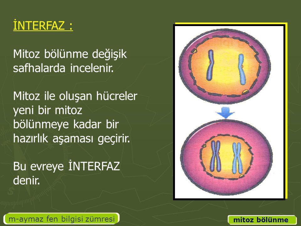 m-aymaz fen bilgisi zümresi İNTERFAZ : Mitoz bölünme değişik safhalarda incelenir. Mitoz ile oluşan hücreler yeni bir mitoz bölünmeye kadar bir hazırl