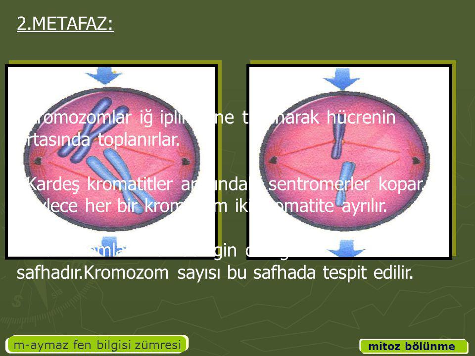 m-aymaz fen bilgisi zümresi Kromozomlar iğ ipliklerine tutunarak hücrenin ortasında toplanırlar. Kardeş kromatitler arasındaki sentromerler kopar. Böy