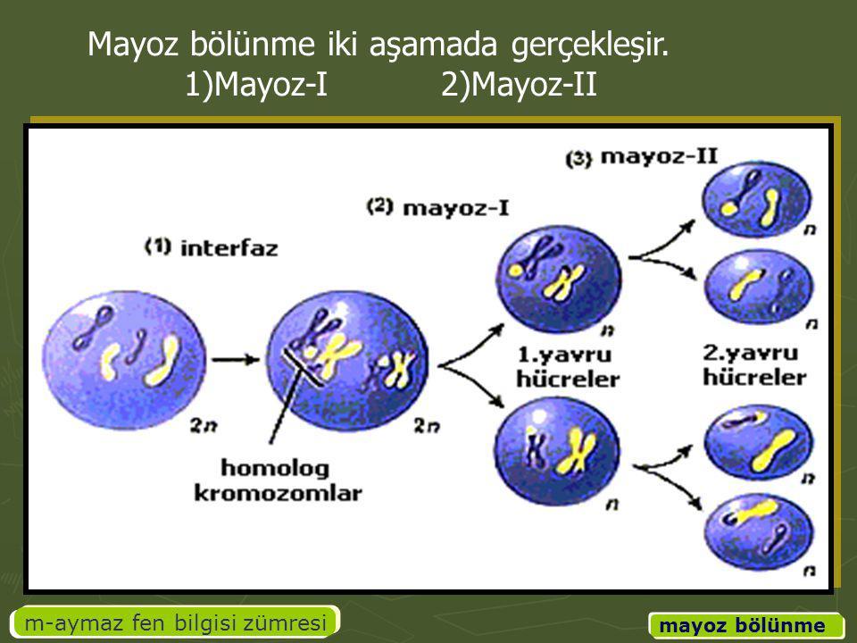 m-aymaz fen bilgisi zümresi mayoz bölünme Mayoz bölünme iki aşamada gerçekleşir. 1)Mayoz-I 2)Mayoz-II