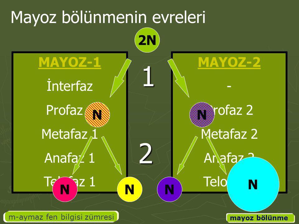 MAYOZ-2 - Profaz 2 Metafaz 2 Anafaz 2 Telofaz 2 MAYOZ-1 İnterfaz Profaz 1 Metafaz 1 Anafaz 1 Telofaz 1 m-aymaz fen bilgisi zümresi mayoz bölünme Mayoz