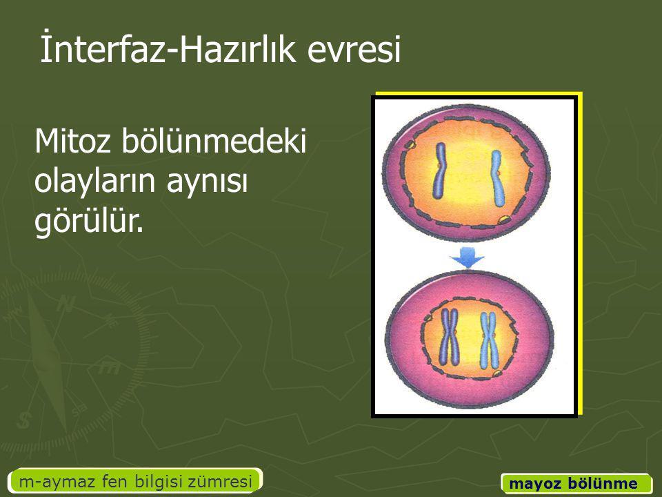 m-aymaz fen bilgisi zümresi mayoz bölünme İnterfaz-Hazırlık evresi Mitoz bölünmedeki olayların aynısı görülür.