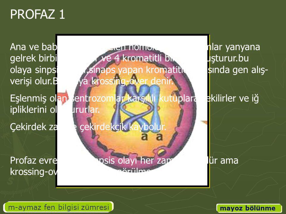 m-aymaz fen bilgisi zümresi mayoz bölünme PROFAZ 1 Ana ve baba canlıdan gelen homolog kromozomlar yanyana gelrek birbirine sarılır ve 4 kromatitli bir