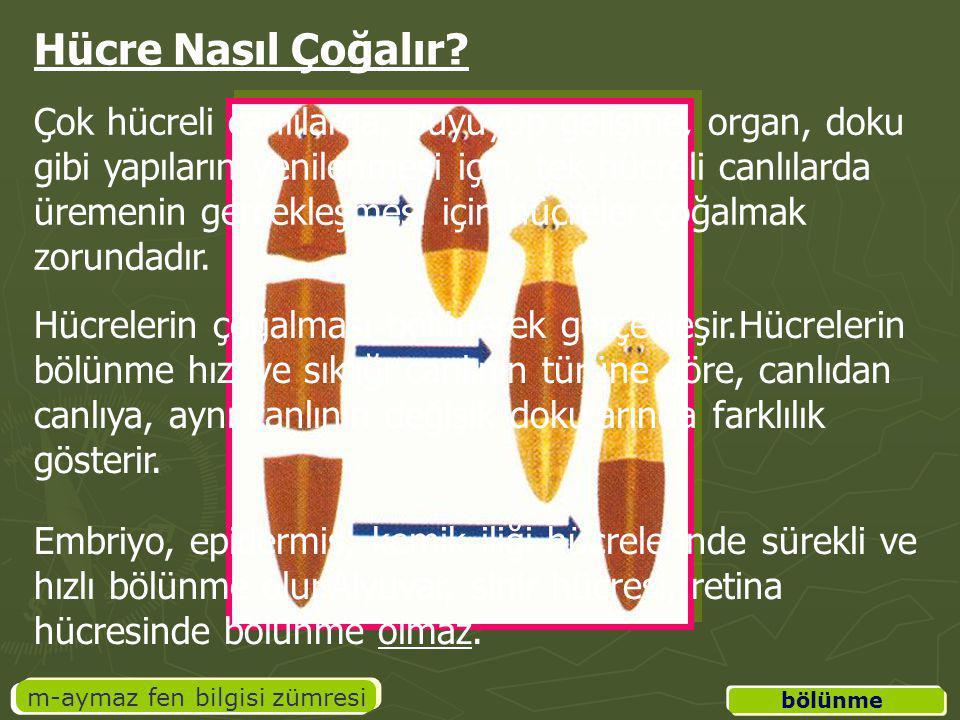 m-aymaz fen bilgisi zümresi Hücre Nasıl Çoğalır? Çok hücreli canlılarda, büyüyüp gelişme, organ, doku gibi yapıların yenilenmesi için, tek hücreli can