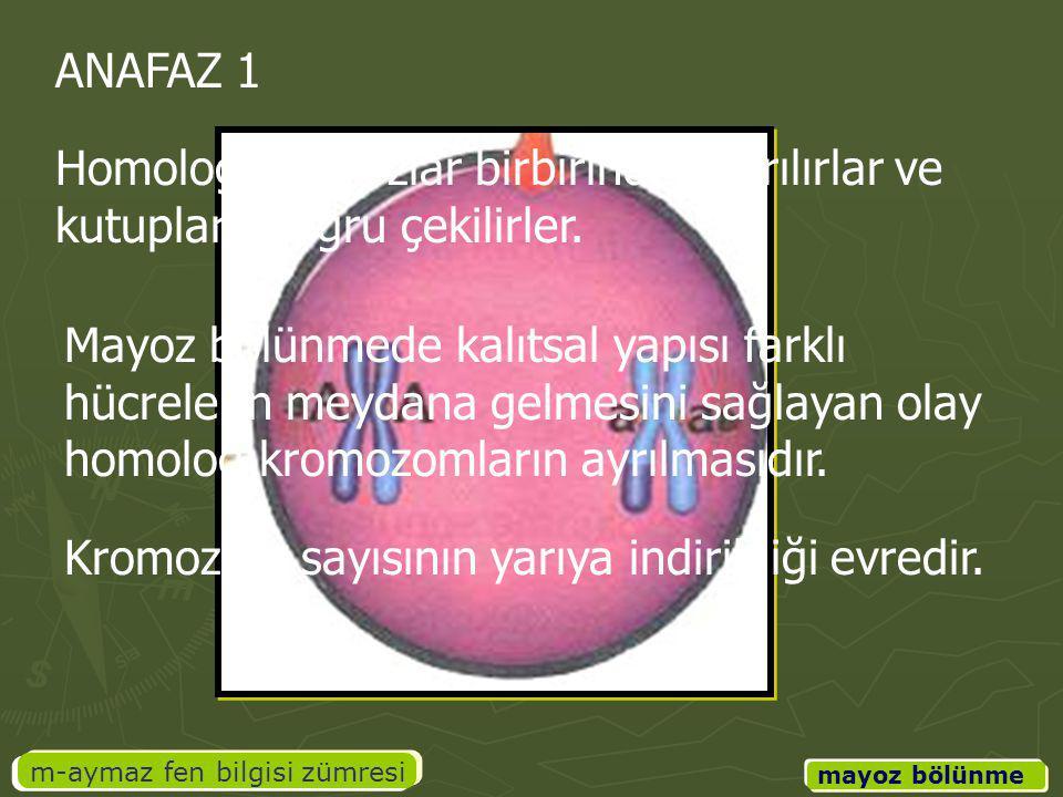 m-aymaz fen bilgisi zümresi mayoz bölünme ANAFAZ 1 Homolog kromozlar birbirinden ayrılırlar ve kutuplara doğru çekilirler. Mayoz bölünmede kalıtsal ya