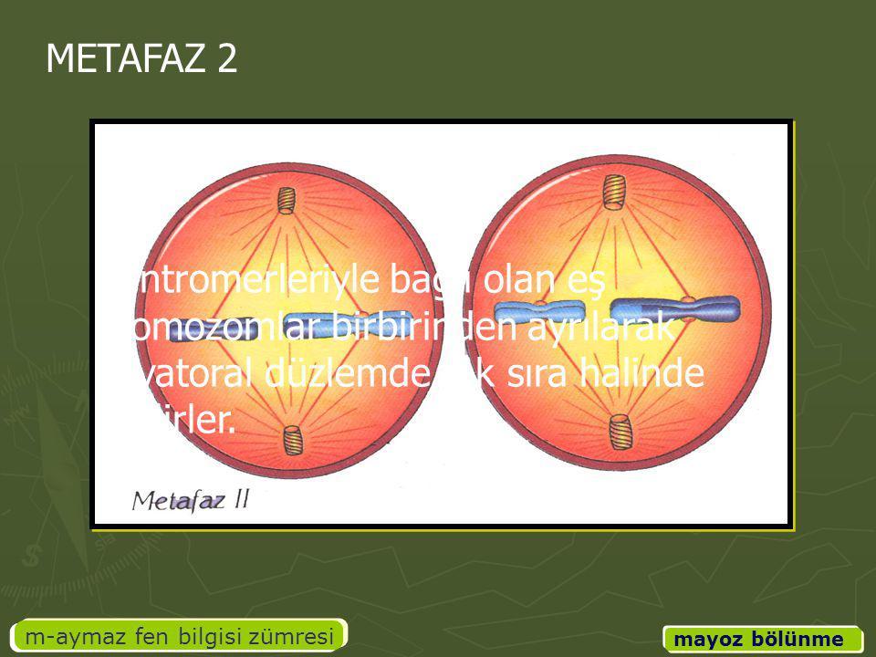 m-aymaz fen bilgisi zümresi mayoz bölünme METAFAZ 2 Sentromerleriyle bağlı olan eş kromozomlar birbirinden ayrılarak ekvatoral düzlemde tek sıra halin
