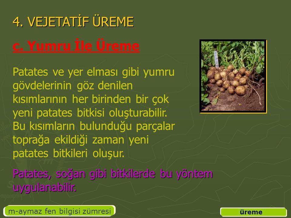 üreme m-aymaz fen bilgisi zümresi 4. VEJETATİF ÜREME c. Yumru İle Üreme Patates ve yer elması gibi yumru gövdelerinin göz denilen kısımlarının her bir