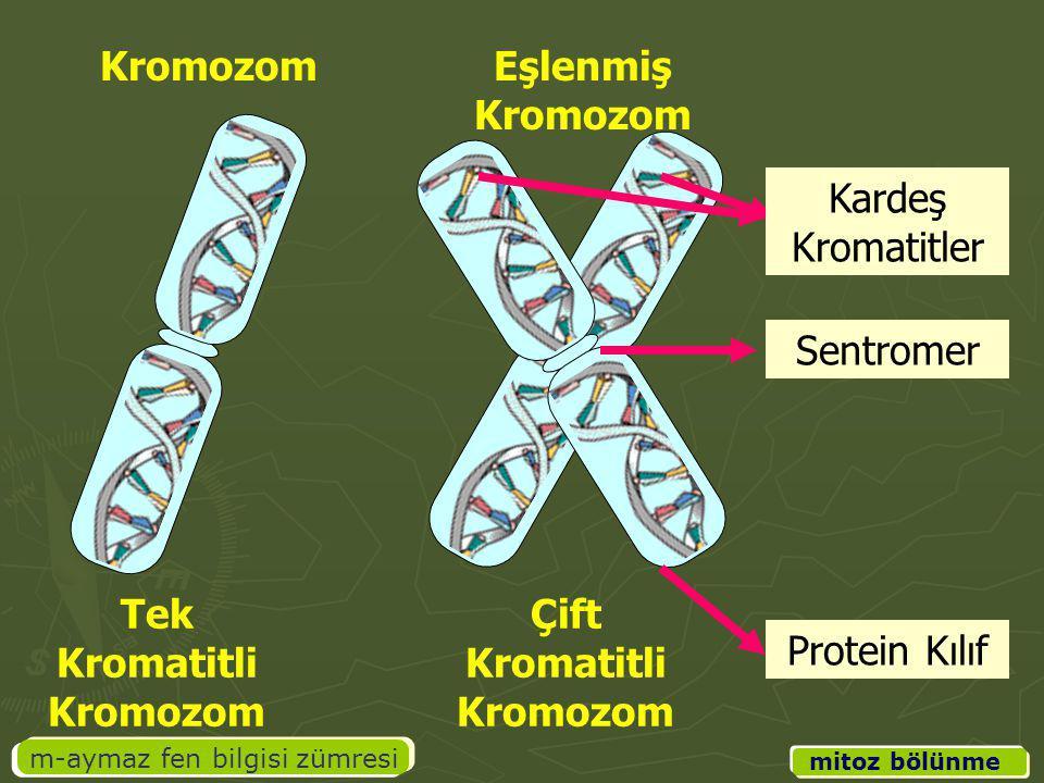 m-aymaz fen bilgisi zümresi mitoz bölünme Kardeş Kromatitler Sentromer Protein Kılıf Tek Kromatitli Kromozom Çift Kromatitli Kromozom KromozomEşlenmiş