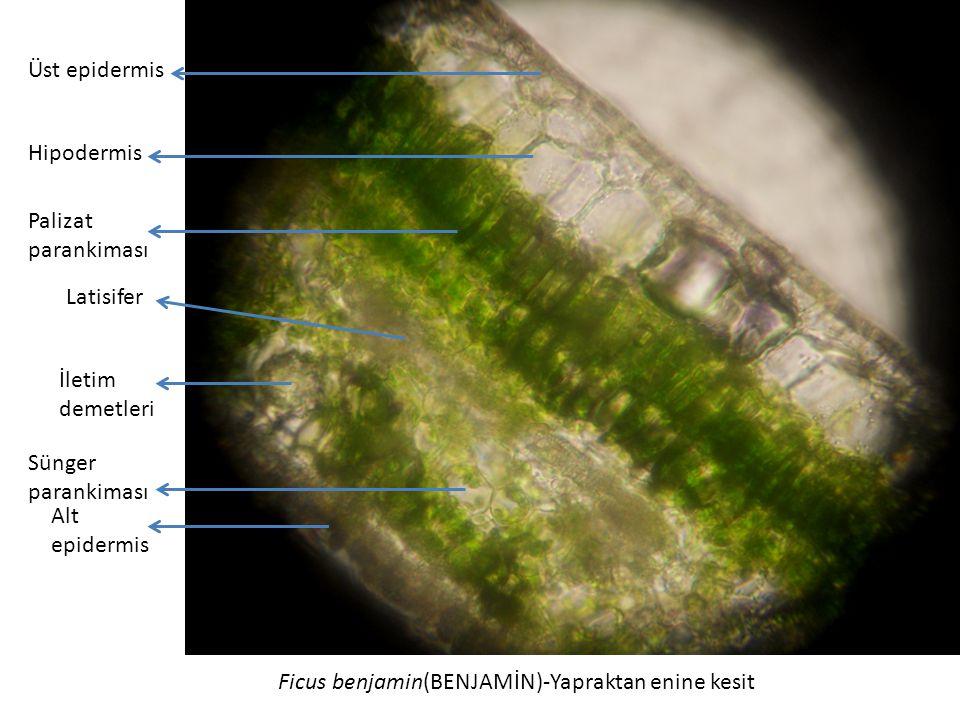 Ficus benjamin(BENJAMİN)-Yapraktan enine kesit Üst epidermis Palizat parankiması Sünger parankiması Alt epidermis Hipodermis Latisifer İletim demetleri
