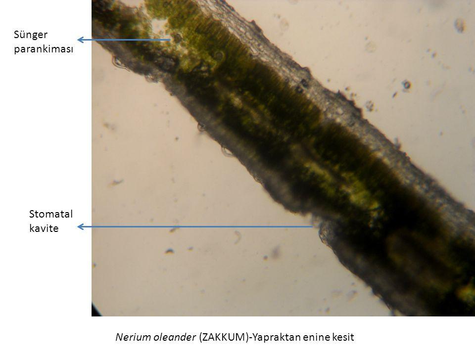Nerium oleander (ZAKKUM)-Yapraktan enine kesit Stomatal kavite Sünger parankiması