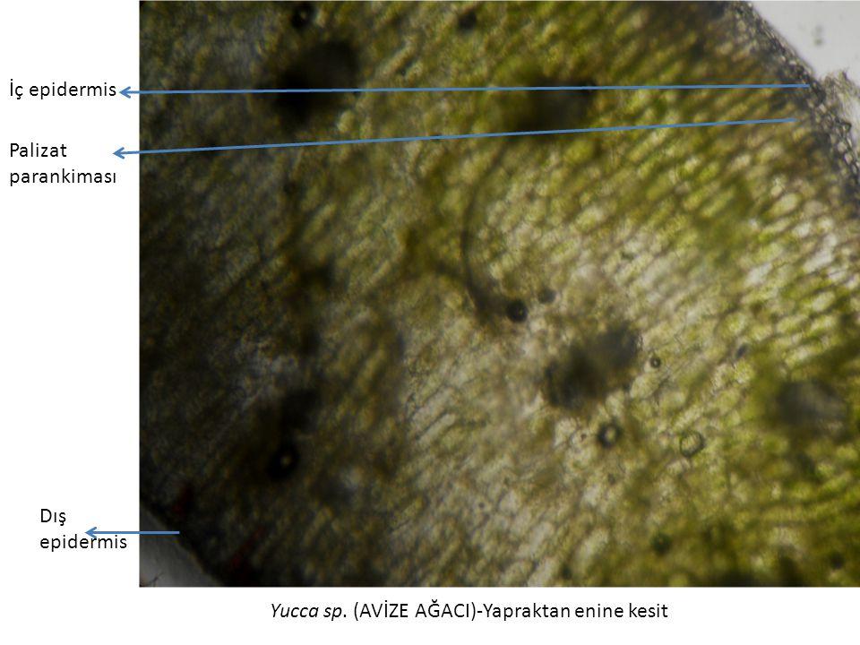 Yucca sp. (AVİZE AĞACI)-Yapraktan enine kesit İç epidermis Palizat parankiması Dış epidermis