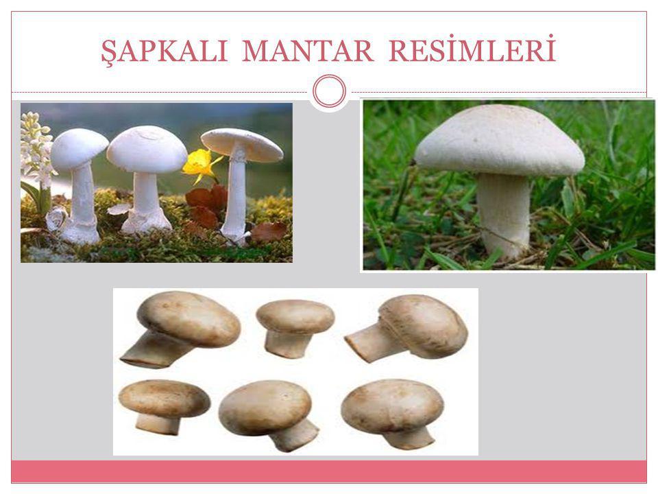 ŞAPKALI MANTAR RESİMLERİ