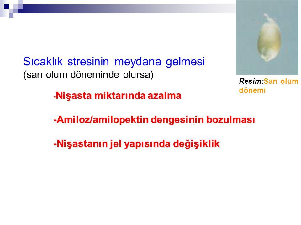 Sıcaklık stresinin meydana gelmesi (sarı olum döneminde olursa) - Nişasta miktarında azalma -Amiloz/amilopektin dengesinin bozulması -Nişastanın jel yapısında değişiklik Resim:Sarı olum dönemi