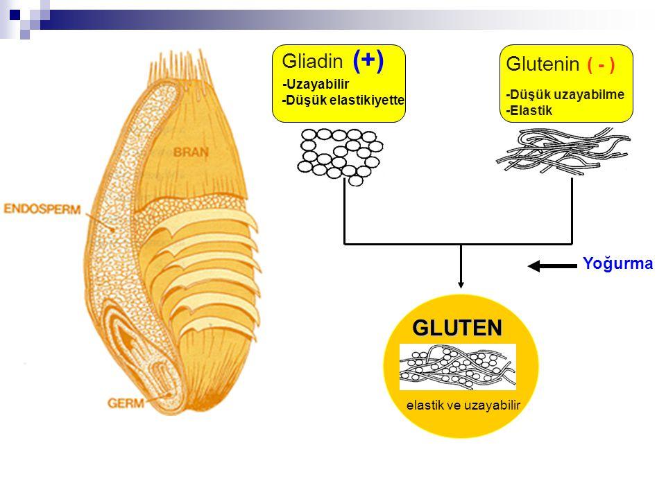 Gliadin (+) -Uzayabilir -Düşük elastikiyette Glutenin ( - ) -Düşük uzayabilme -Elastik Yoğurma GLUTEN elastik ve uzayabilir