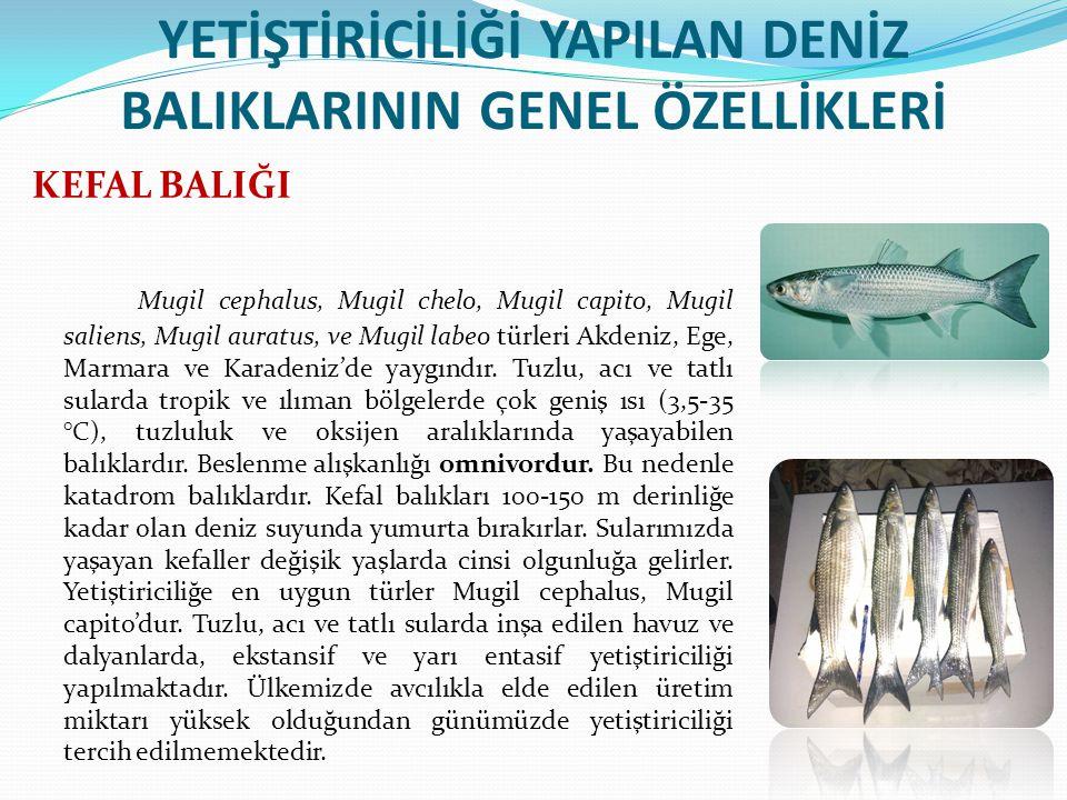 YETİŞTİRİCİLİĞİ YAPILAN DENİZ BALIKLARININ GENEL ÖZELLİKLERİ KEFAL BALIĞI Mugil cephalus, Mugil chelo, Mugil capito, Mugil saliens, Mugil auratus, ve Mugil labeo türleri Akdeniz, Ege, Marmara ve Karadeniz'de yaygındır.