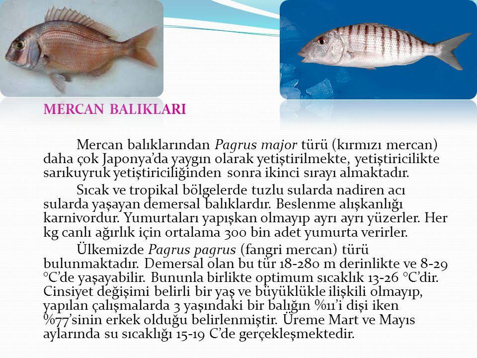 Mercan Balığı Yumurtadan çıkan mercan larvaları yaklaşık 3,5 m3 silindrik tanklara tranfer edilirler.