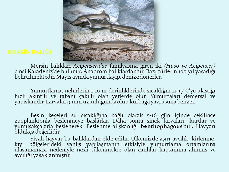 SARIKUYRUK BALIĞI Sarıkuyruk balığı Carangidae familyasına ait hızlı yüzen, pelajik bir balıktır.