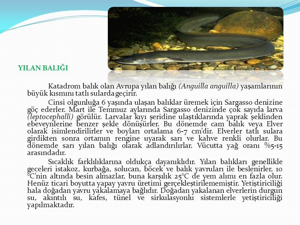 YILAN BALIĞI Katadrom balık olan Avrupa yılan balığı (Anguilla anguilla) yaşamlarının büyük kısmını tatlı sularda geçirir.