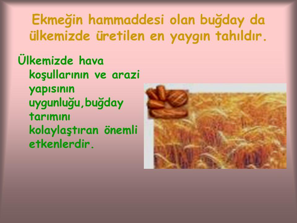 Ekmeğin hammaddesi olan buğday da ülkemizde üretilen en yaygın tahıldır.