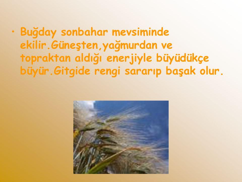 Buğday sonbahar mevsiminde ekilir.Güneşten,yağmurdan ve topraktan aldığı enerjiyle büyüdükçe büyür.Gitgide rengi sararıp başak olur.