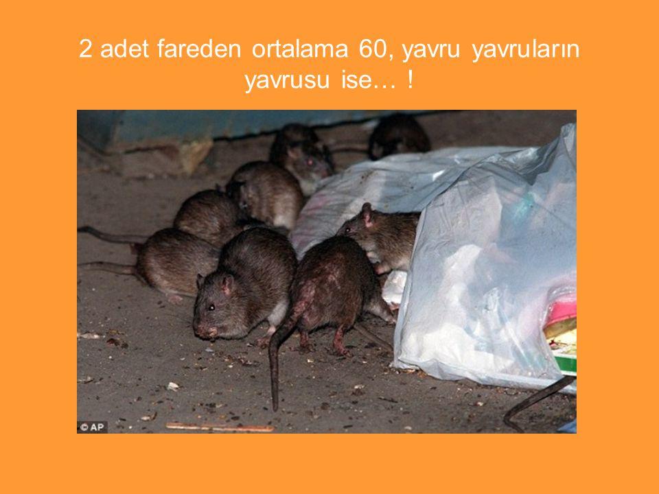 2 adet fareden ortalama 60, yavru yavruların yavrusu ise… !