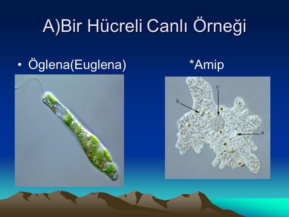 A)Bir Hücreli Canlı Örneği Öglena(Euglena) *Amip