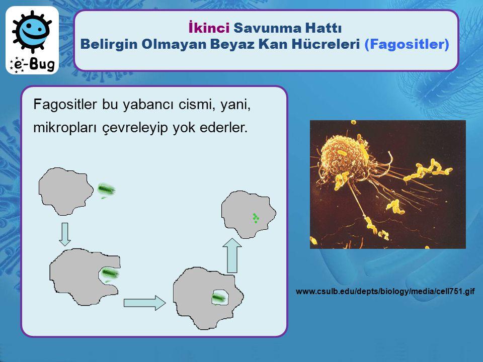 İkinci Savunma Hattı Belirgin Olmayan Beyaz Kan Hücreleri (Fagositler) Fagositler bu yabancı cismi, yani, mikropları çevreleyip yok ederler. www.csulb