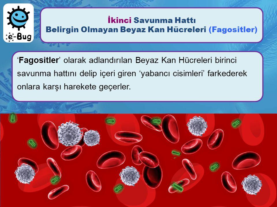 İkinci Savunma Hattı Belirgin Olmayan Beyaz Kan Hücreleri (Fagositler) 'Fagositler' olarak adlandırılan Beyaz Kan Hücreleri birinci savunma hattını de
