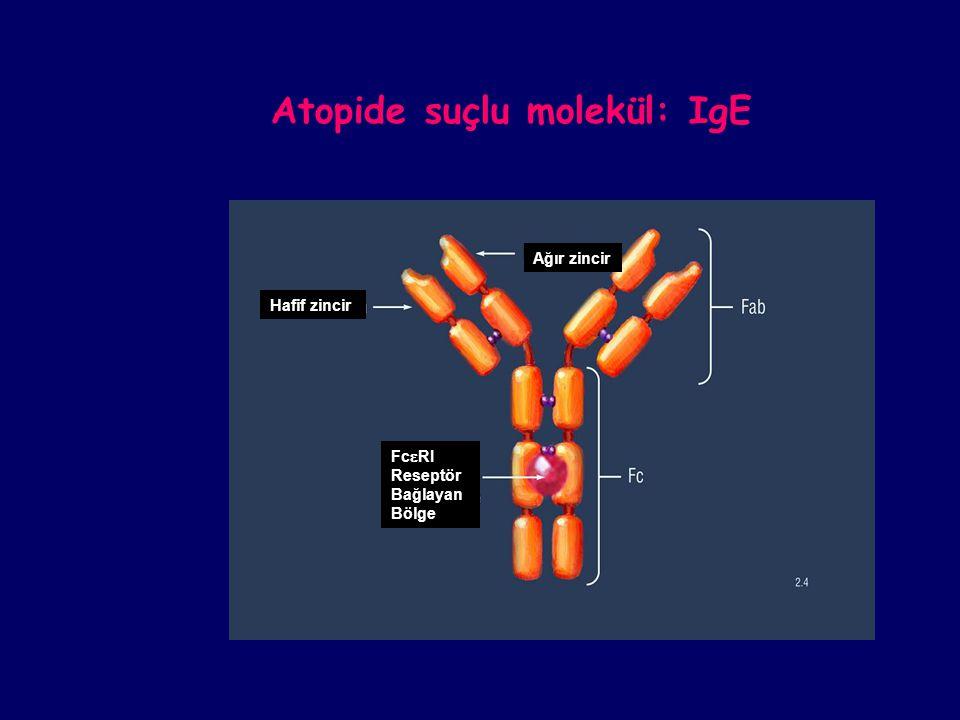 Ağır zincir Hafif zincir Fc  RI Reseptör Bağlayan Bölge Atopide suçlu molekül: IgE